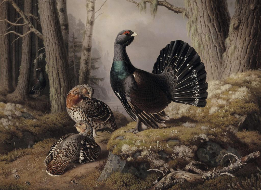 Ferdinand von Wright: Metsoja soitimella, 1862. Kansallisgalleria / Ateneumin taidemuseo, kok. Hallonblad. Kuva: Kansallisgalleria / Hannu Aaltonen
